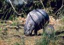 hippopotames_002.jpg
