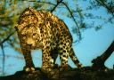 leopards_014.jpg