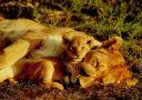 lions_006.jpg