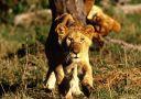 lions_013.jpg